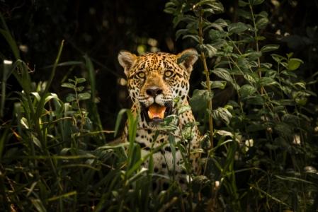 onc3a7a_do_pantanal